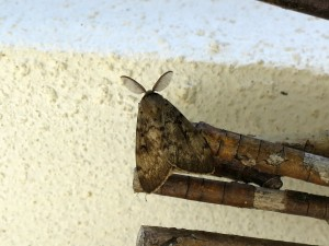 Male Gypsy Moth chilling with us on the terrace