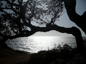 Algarve - Old olive tree at the beach