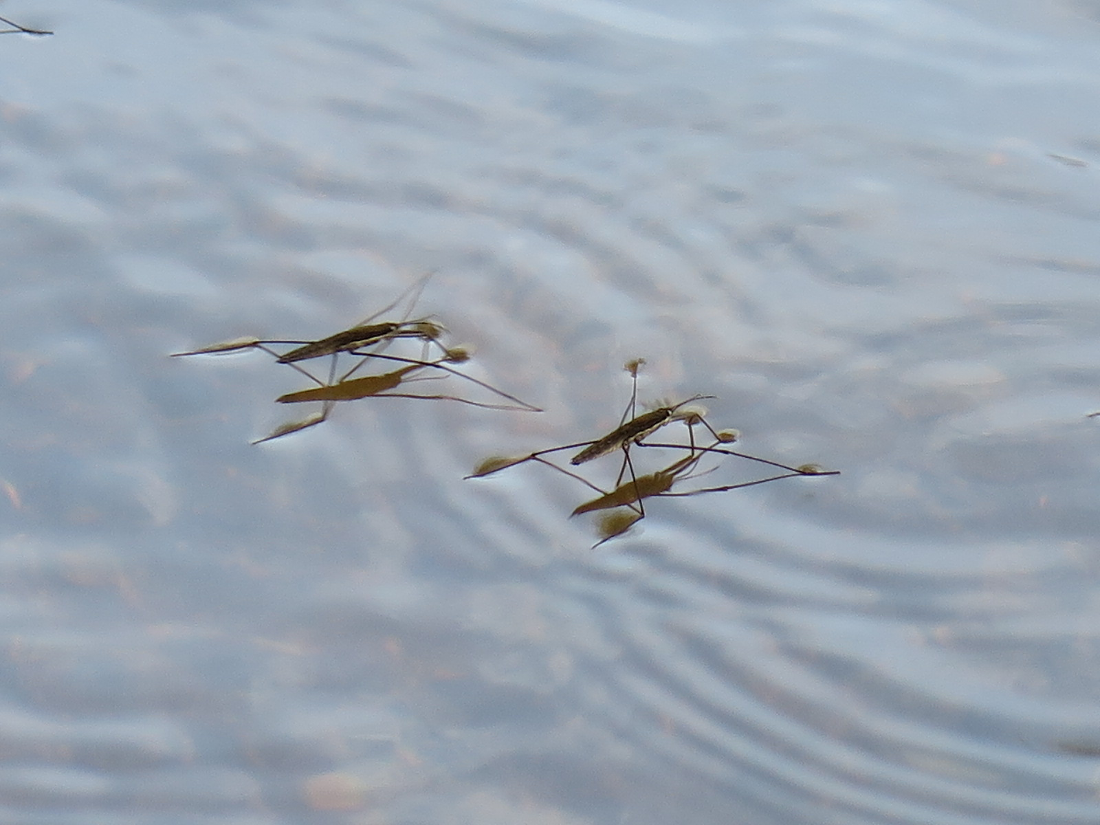 Water Boatmen 11/17