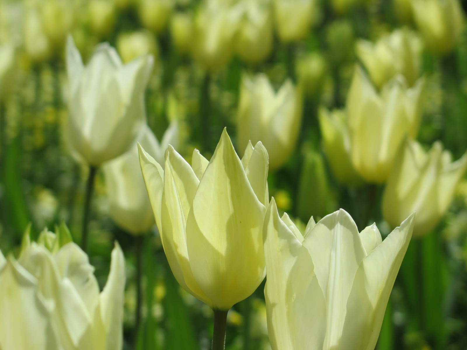 Tulips in the White Gardens -16/17