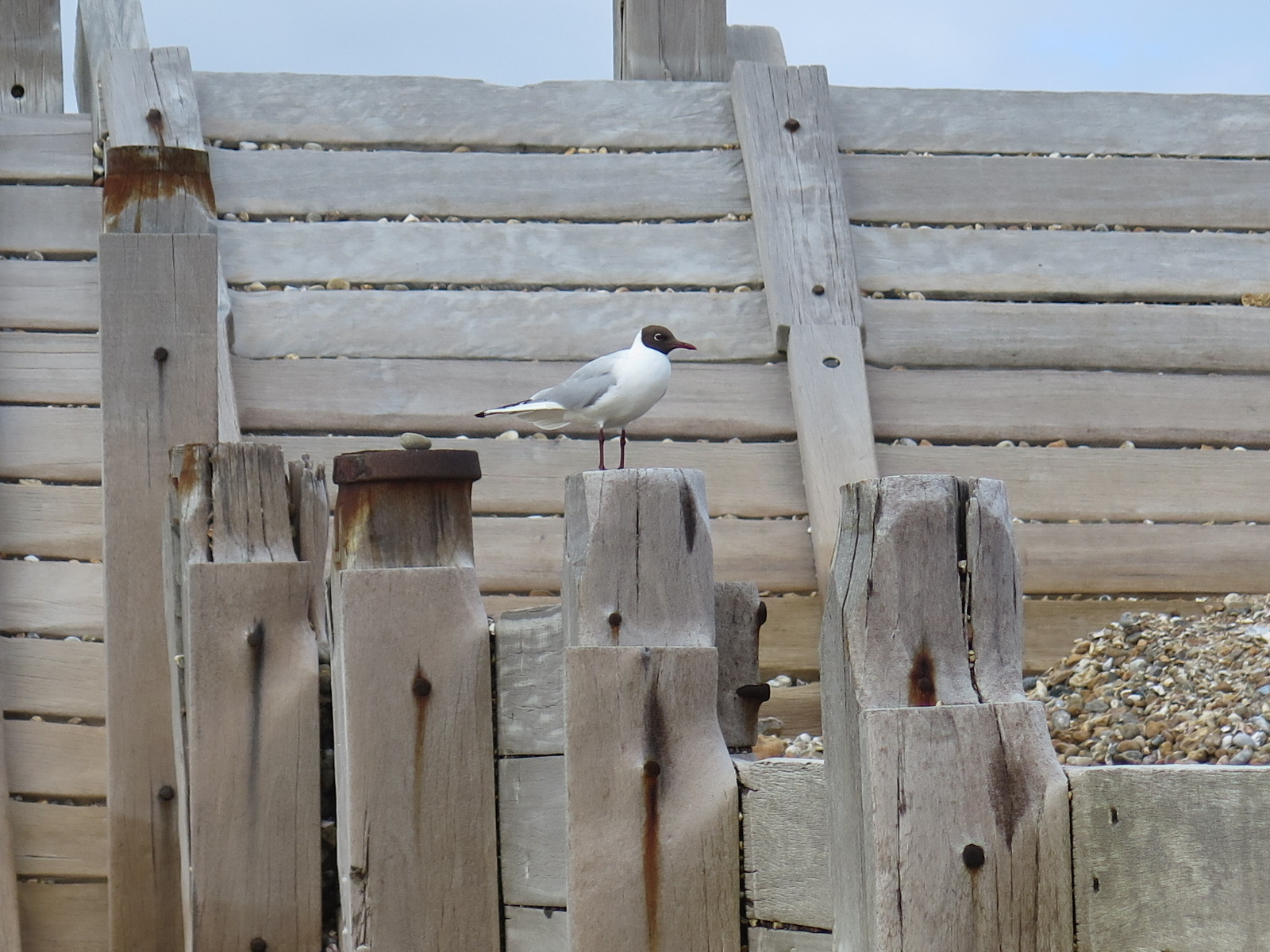 Black-headed gull at Hayling Seafront – 26/17
